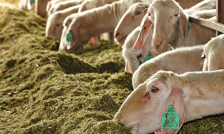 La sequía sigue disparando los costes al tenerse que comprar piensos para mantener el ganado